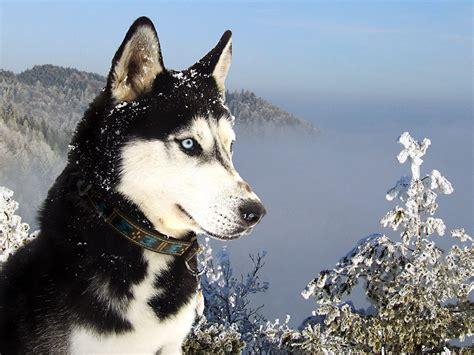 anjing vs manusia wallpapers siberian husky