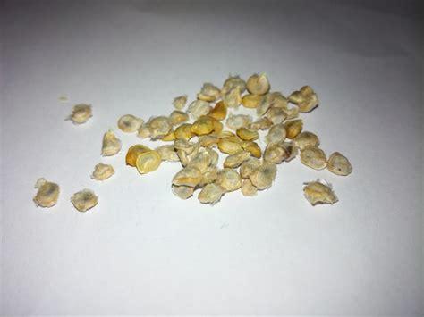 Opuncija ili indijska smokva (Opuntia ficus-indica) - sjeme (sjemenke)