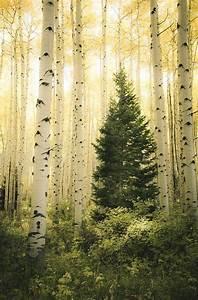 Aspen, Trees, Fall, Fall, Tree, Photo, Aspen, Tree, Decor, Colorado, Art, Rustic, Wall, Decor, Log, Cabin