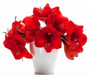 Amaryllis In Der Vase : fotos rot blumen amaryllis vase ~ Lizthompson.info Haus und Dekorationen
