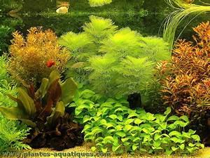 Une Plante Aquarium Est Une Plante Aquatique