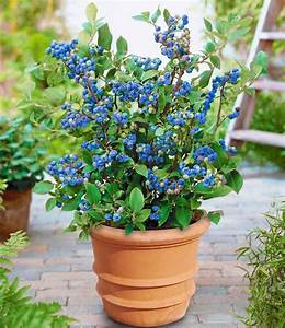 Wann Heidelbeeren Pflanzen : topf heidelbeere blue parfait 1a pflanzen baldur garten ~ Orissabook.com Haus und Dekorationen