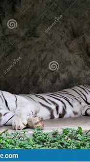 White Tiger Or White Tiger Sleeping Stock Photo - Image of ...