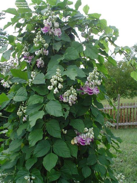 snail flower vine vigna caracalla snail corkscrew vine scented annual snail vine pinterest gardens sun and