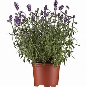 Lavendel Pflanzen Im Topf : echter lavendel topf ca 14 cm lavandula kaufen bei obi ~ Frokenaadalensverden.com Haus und Dekorationen