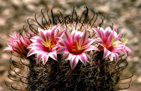 fishhook cactus | Description & Examples | Britannica