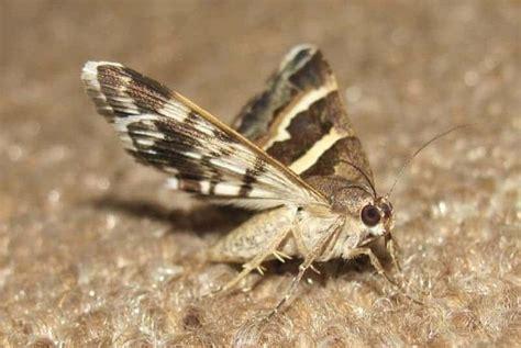 home remedies   rid  moth flies