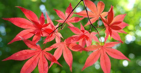 japanischer ahorn traumhafte herbstfarben mein schoener