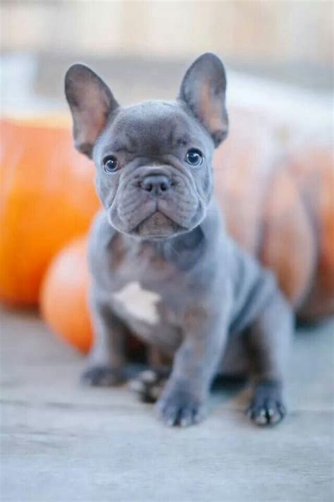 frenchie colors 17 best ideas about brindle bulldog on