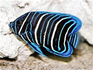 Blue-faced Angelfish, Yellow-faced Angelfish, Pomacanthus ...