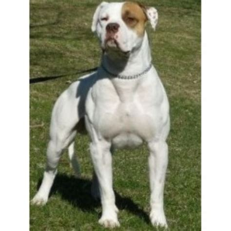 north south american bulldogs american bulldog breeder