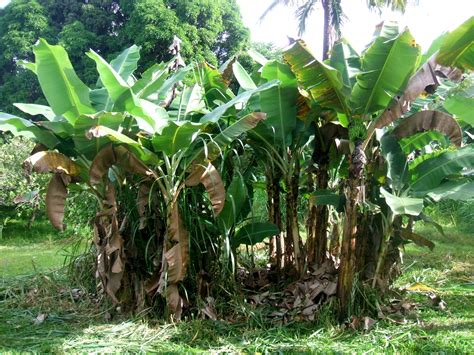 banana trees machetes bananas and wild pigs maybe i ll become a farmer