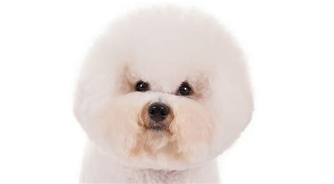 Non Shed Dogs Medium by Bichon Frise Dog Breed Information American Kennel Club