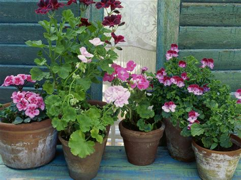 the different types of geraniums diy