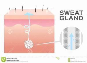 Wiring Diagram  32 Sweat Gland Diagram