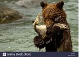 Copper river gay bears and cubs