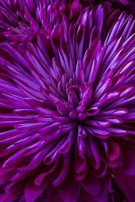 Purple Mum Flower