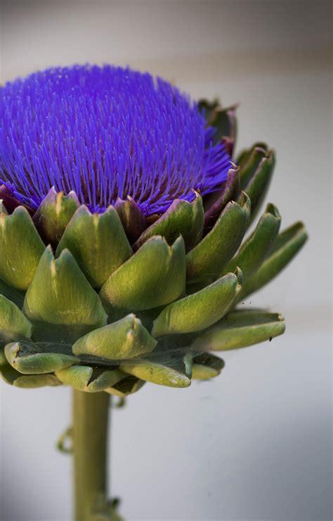 artichoke   bloom todays image earthsky