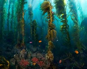 Pin by Jonathan Ching on Kelp Forest | Pinterest