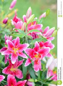 tiger lillies pink flowers in the garden stock photography image