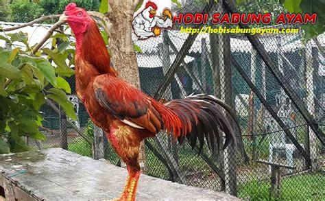 cara rahasia meningkatkan stamina ayam bangkok laga