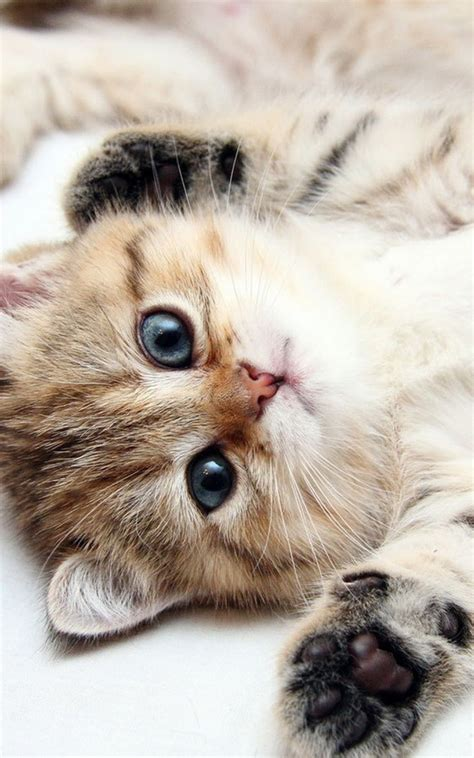 cute kitten blue eyes android wallpaper