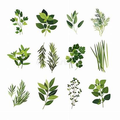 Clip Herbs Clipart Parsley Thyme Bay Basil