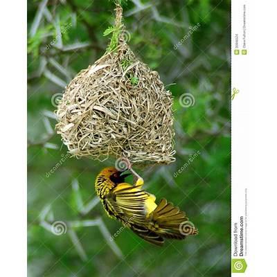 Yellow Weaver Bird On Nest Stock Images - Image: 35846524