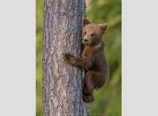 Zu Besuch bei den finnischen Bären – Roland Kiser