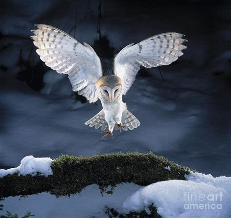 barn owl landing photograph by manfred danegger