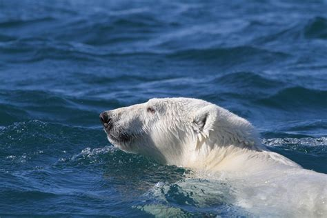 Polar Bears Are Swimming More As Sea Ice Retreats