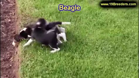 beagle puppies dogs  sale  charleston west