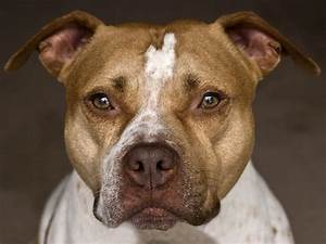 American Pit Bull Terrier Dog Breed Profile