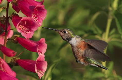 plants that hummingbirds the ultimate dining guide for hummingbirds garden harvest supply