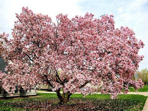 magnoloa tree magnolias