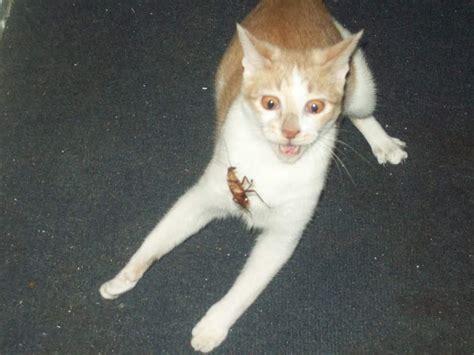 kucing kucing  lupa caranya jadi kucing bikin ngakak