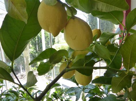 Concime Limoni In Vaso by Concimazione Limoni Concime Come E Quando Concimare Limoni