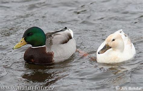Mallard, Hens And Ducks