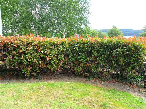 La seconda fase di concimazione delle siepi da giardino avviene durante la stagione vegetativa. Photinia siepe - Siepi - Come realizzare una siepe di photinia