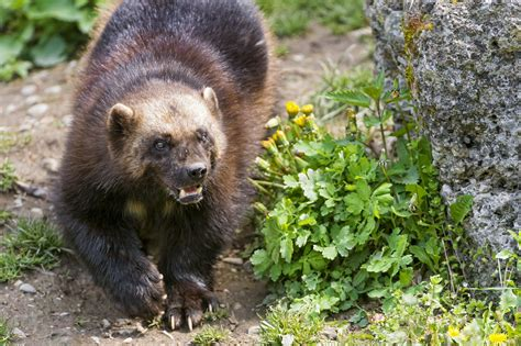 Wolverine Animal Wallpaper - wolverine wallpaper animals wallpaper better