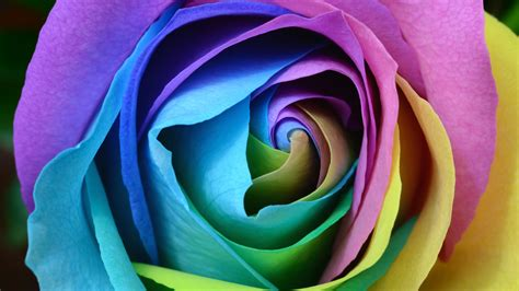 Colorful Rose 4k Wallpapers