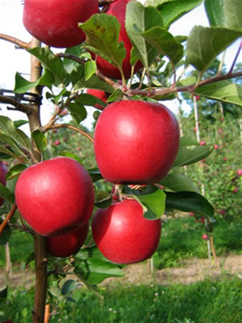 Two New Apple Varieties Released For Nys Growers Only