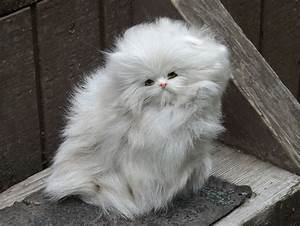 Long Haired Cat Breeds  Easy