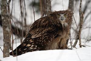 Huge owls need huge trees