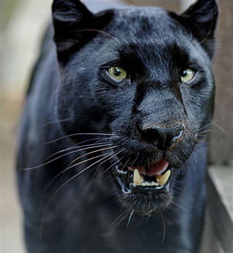 black panther cat hd animals black panther