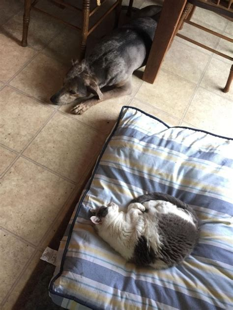 dogs catch  cats stealing  beds