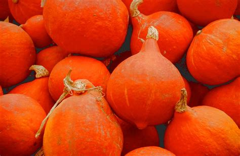 Red kuri squash: sowing, planting, growing and harvesting
