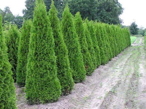thuja kaufen thuja lebensbaum smaragd thuja occidentalis smaragd 200 225 cm kaufen in bester qualit 228 t