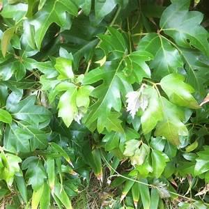 Plante Verte D Appartement : vigne d appartement cultiver et entretenir ooreka ~ Premium-room.com Idées de Décoration