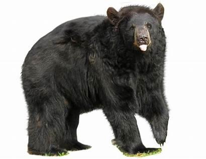 Bear Transparent Ours Teddy Telecharger Fond Polar